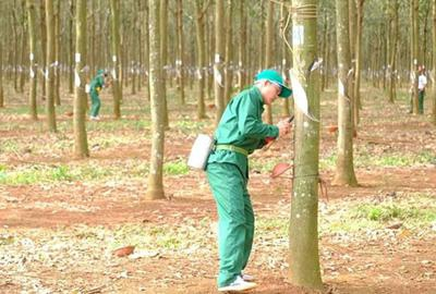 Photos of Phu Rieng rubber